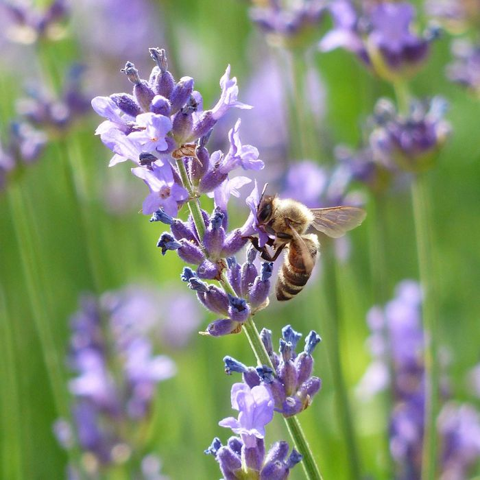 English Lavender 'Munstead'
