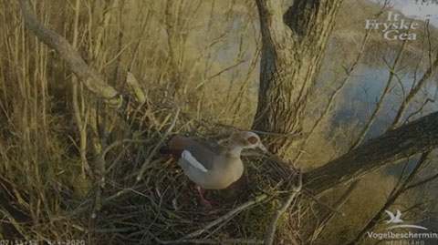 Egyptian Goose Webcam