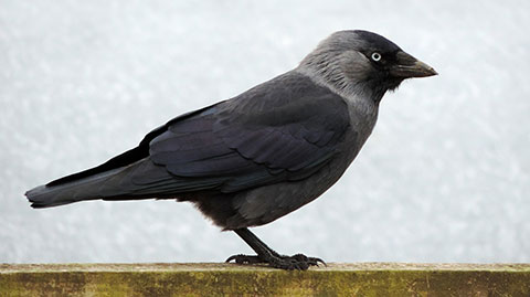 Jackdaw Webcam