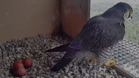 Peregrine Falcon Webcam