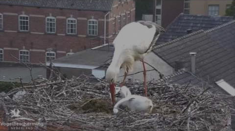 White Stork Webcam